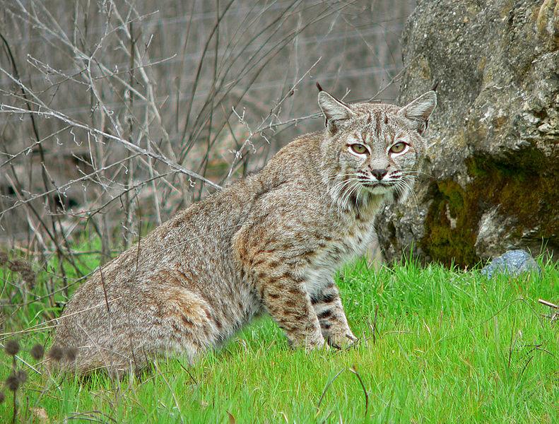 A bobcat (credit: Wikimedia Commons)